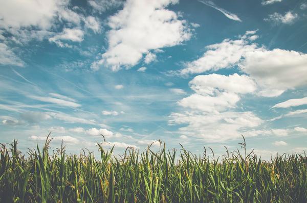 Dolistny nawóz do kukurydzy zabezpieczy plony