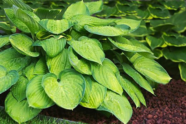 Polecana bylina do ogrodów