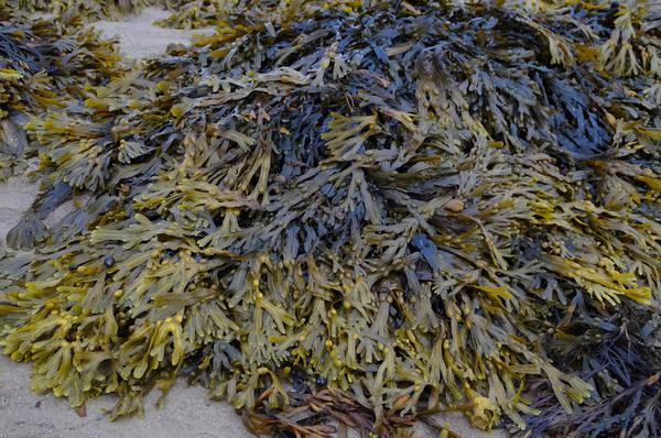 Skuteczność suplementów z algi potwierdzona badaniami